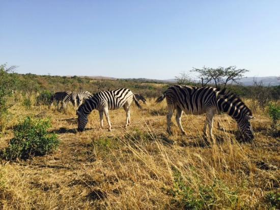 The Fever Tree Guest House: Zebras (Hluhluwe NP)