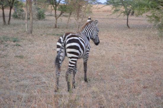 Robanda Tented Camp : A zebra outside my tent