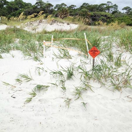 Hunting Island State Park Campground: loggerhead sea turtle nests!