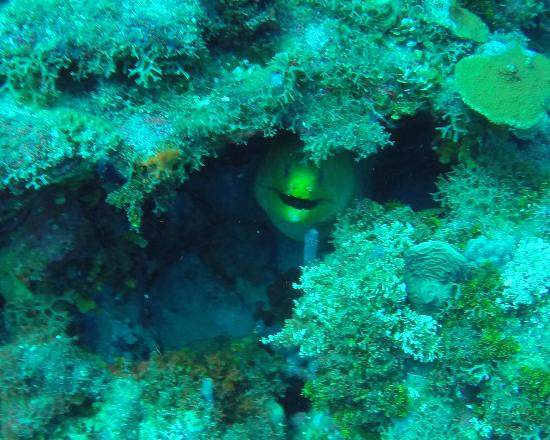 Karibik Diver: Grren Moray Eel