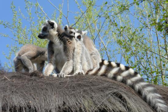 Famille de lémurien