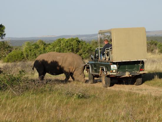 Schotia Safaris Private Game Reserve: Rinoceronte bianco alla piccola carica