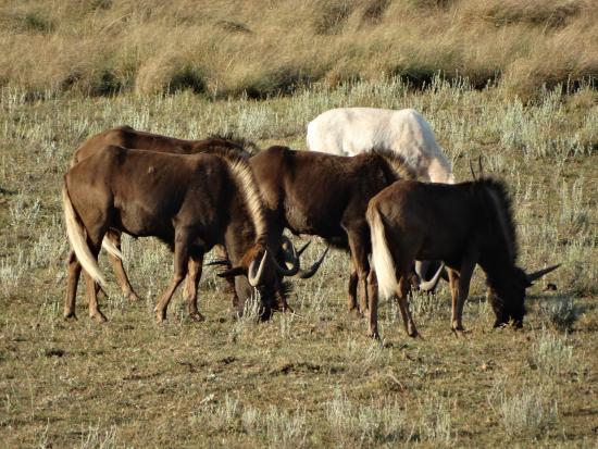 Schotia Safaris Private Game Reserve: Gnu al pascolo