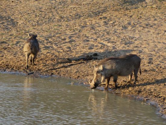 Schotia Safaris Private Game Reserve: Facoceri allo stagno