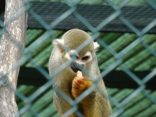 Singe ecurueil foto di jardin zoologique tropical la for Jardin zoologique tropical