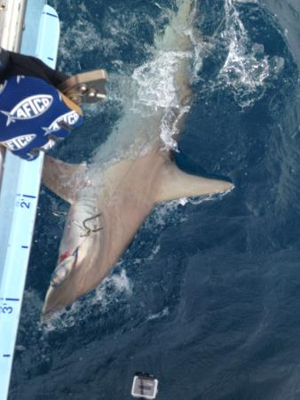 Hammer head shark we caught bild fr n therapy iv deep for Deep sea fishing miami fl