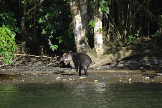 Puerto Jiménez, Costa Rica: Baird's Tapir @ Rio Claro, Sirena, Corcovado NP