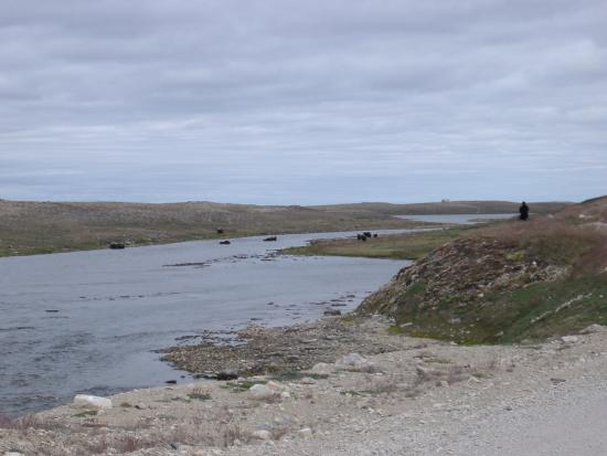 Cambridge Bay, Canadá: Muskox crossing