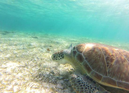 Spotts Beach Turtle Captured With A Gopro While Snorkeling