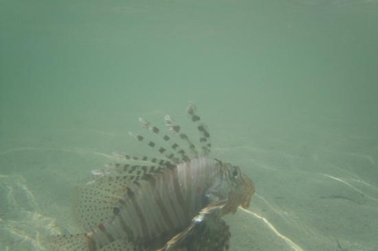 """Blue Reef Red Sea Resort: Skrzydlica w """"naszym bajorze"""" pojawiła się wraz z przypływem."""