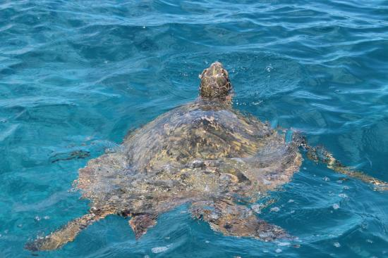Hawaiian Sailing Canoe Adventures: Can't get enough turtles