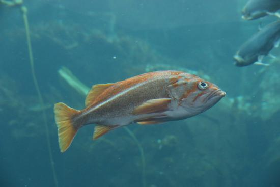Fish in aquarium picture of alaska sealife center for Alaska freshwater fish