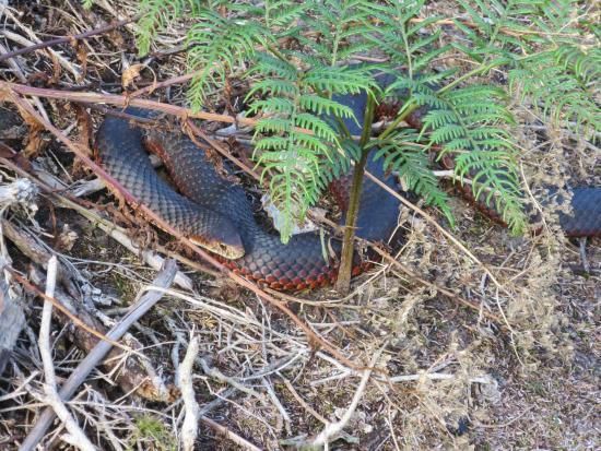 Tasmania, Australia: Snake
