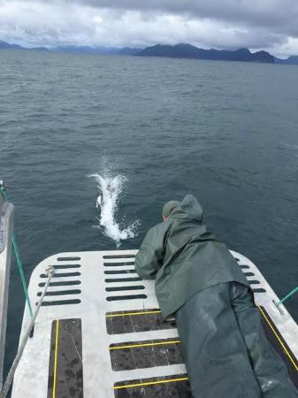 Allens Alaska Adventures : Playing with the dall porpoise