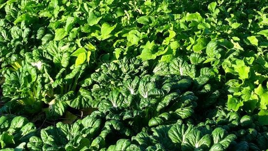 Hill Top Farmstay Accommodation Cooktown: Very fresh veges from the garden