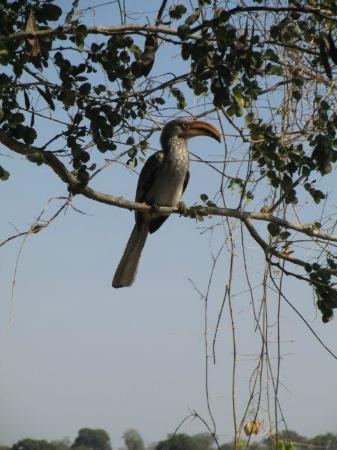 Ngwenya Lodge: Zazu from Lion king came to visit