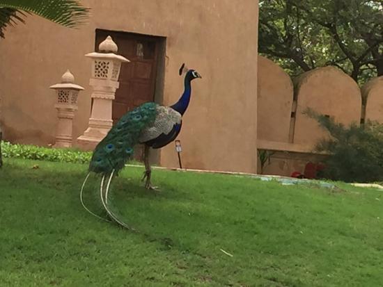 The Oberoi Rajvilas: oberoi rajvilas peacock