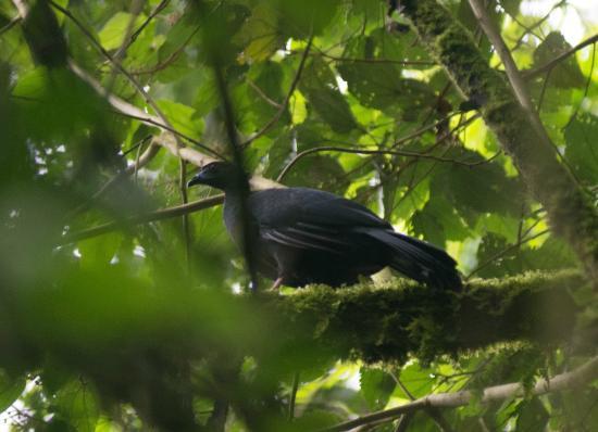 Talamanca Reserve: Black Guan