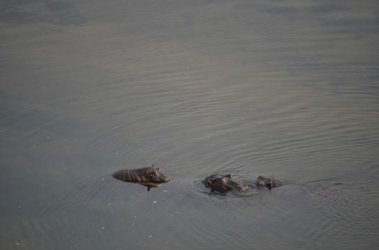 """Nine """"resident"""" hippos in the river pool in front of Ngwenya Lodge"""