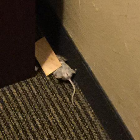 Monument, CO: 2 mice caught in room.