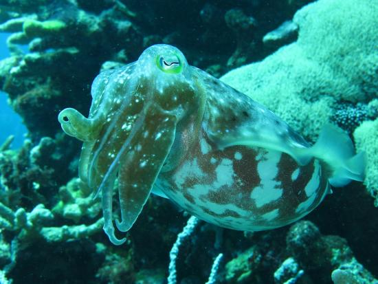 Uepi Island Resort: Friendly Cuttle-fish