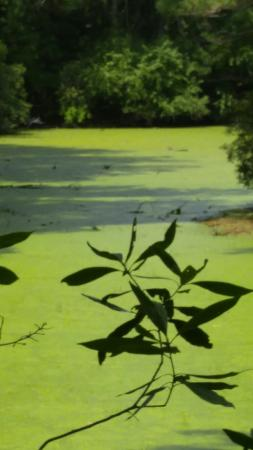 Sweetgum Swamp Trail : Sweetgum swamp