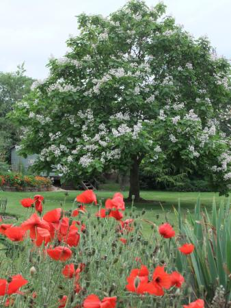 Sutton St Nicholas, UK: Indian Bean Tree & poppies