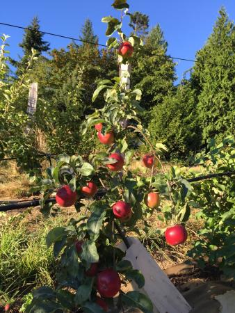 B&B at Salt Spring Apple Company: Breakfast basket & surrounding apple trees! Not for picking, just for admiring. Beautiful sunris