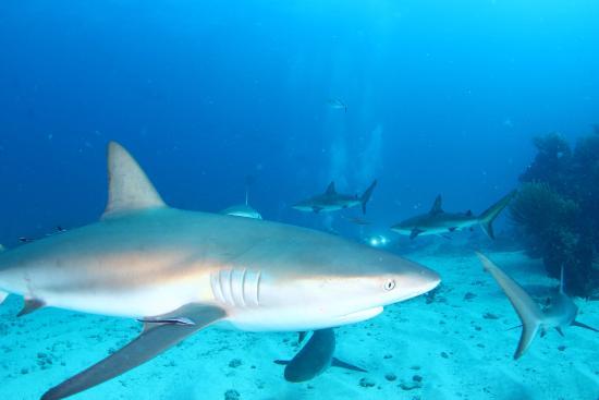 Simpson Bay (ทะเลสาบซิมป์สัน เบย์), เซนต์มาร์ติน / ซินท์มาร์เทิน: St. Martin Shark Dive