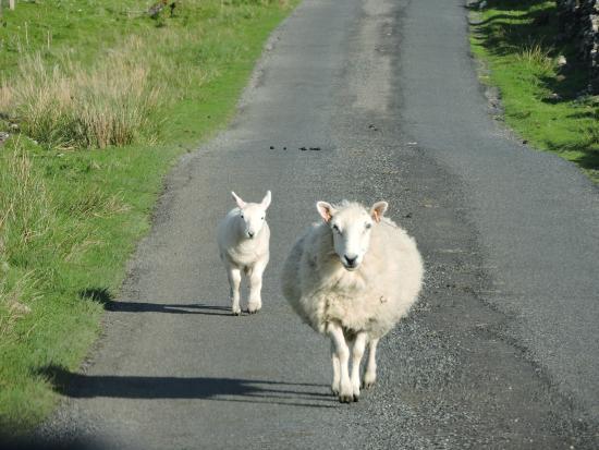 Druimnacroish: Rush hour on the road to Drumnacroish