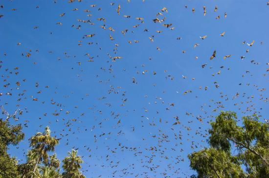 Top End, Australia: Flying Fox swarm