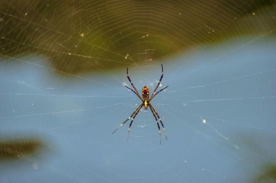 Top End, Australia: Golden Orb spider in the park
