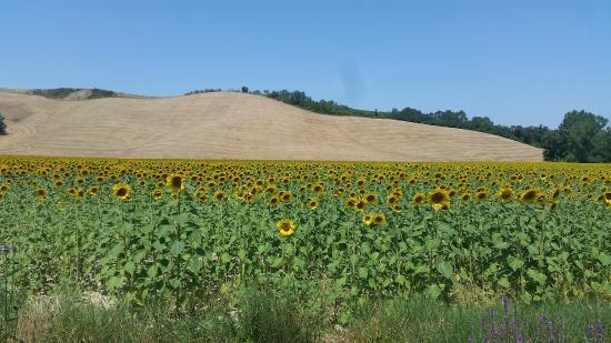 Agriturismo Macinatico 1: Sunflowers