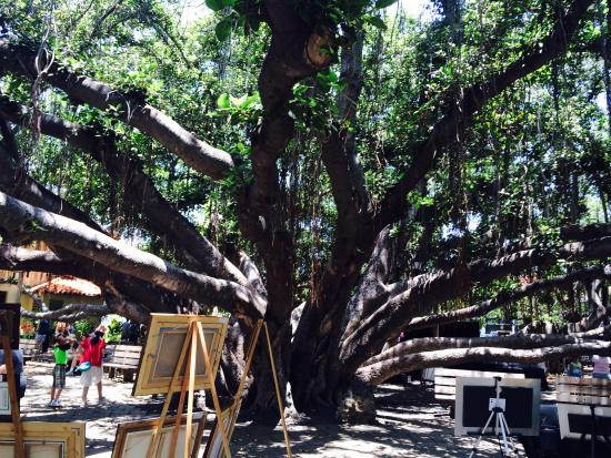 That S One Huge Tree Picture Of Banyan Tree Park