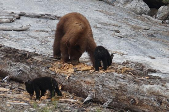 Wuksachi Lodge: Black bear sow and cubs