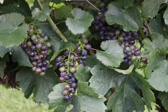 West Kelowna, Canadá: Purple grapes turning colour
