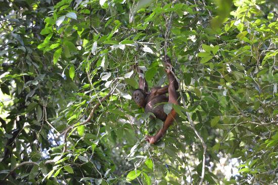 Tabin Wildlife Reserve: 野生のオランウータン、そっと観察します