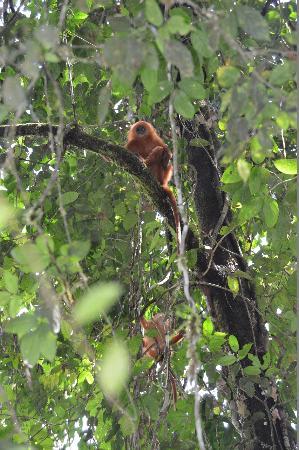 Tabin Wildlife Reserve: クリイロリーフモンキーはオバケみたい