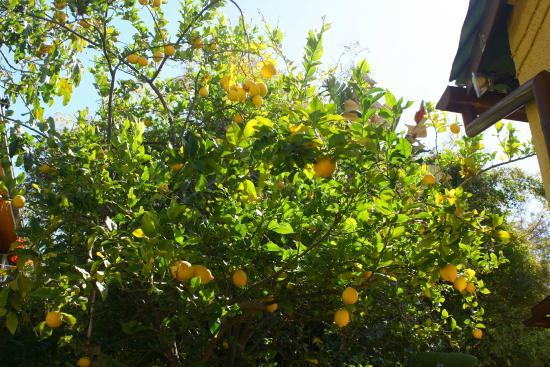 Maison Ambre Guesthouse : Zitronenbaum im Garten