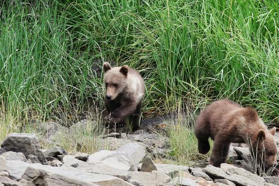 Katmai Wilderness Lodge : Cubs on the move