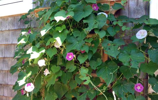 Morning Glory Inn: We love it when the morning glories finally start to bloom, this year, in glorious profusion