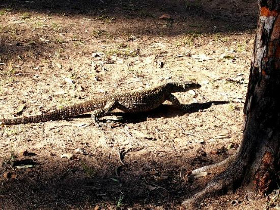 Murphys Creek: Well feed goanna leaving us alone