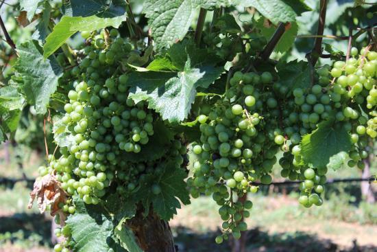 Sumac Ridge Estate Winery: Grapes
