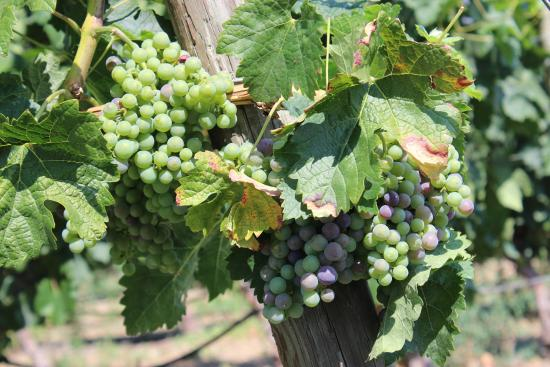 Therapy Vineyards: Grapes