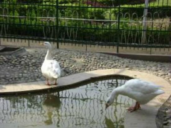 Jalandhar, India: Ducks in Little Zoo of Nikku park