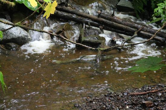 Juneau Rainforest Garden: Salmon