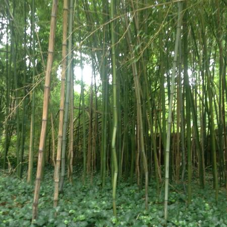 Locust Valley, estado de Nueva York: bamboo fencing