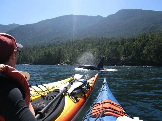 Wildheart Adventures: Orca passing  us in Johnstone Strait