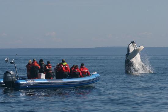 Longue-Pointe-de-Mingan, แคนาดา: Humpback Whale breach