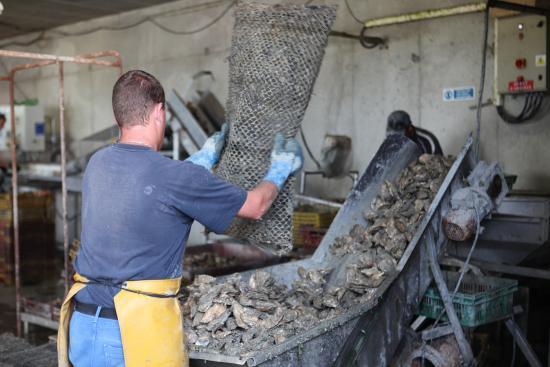 La Ferme Marine: Oyster harvesting